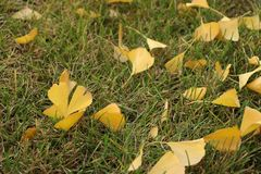 The leaves of the scattered ginkgo tree on the lawn royalty free stock image