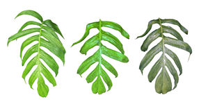 Leaves set of Monstera plant with raindrops, the tropical evergreen vine isolated on white background, clipping path included. stock photography