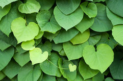 Leaves in the Shape of a Heart. Green leaves in the shape of a heart Stock Photo