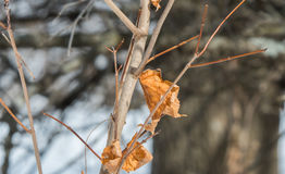Leaves. Shrivled maple leaves on a tree in winter Stock Photos