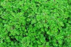 Leaves of shrubby cinquefoil or Potentilla fruticosa royalty free stock images