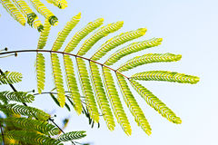 Leaves of silk tree Royalty Free Stock Photo