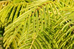 Leaves of silk tree Royalty Free Stock Photography