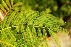 Leaves of silk tree Stock Photo