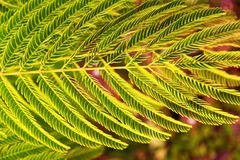 Leaves of silk tree Royalty Free Stock Image