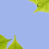 Leaves and Sky. Green Leaves against the sky Royalty Free Stock Photos