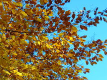 Leaves in the sky. Yellow leaves at blue sky Royalty Free Stock Image