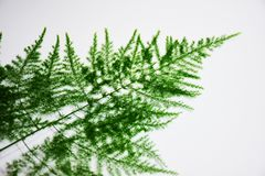 Leaf-shaped, small, slim, ideal for background work. Or graphics. Leaves, small lobes, leaves look like needles. Used in ornamental plants. Decorate a flower Stock Image