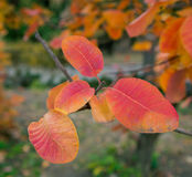 Leaves of smoke bush Royalty Free Stock Images