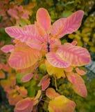 Leaves of smoke bush. Beautiful red and yellow leaves of smoke bush Cotinus Royalty Free Stock Photos