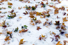 Leaves on snow Royalty Free Stock Images