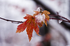 Leaves in snow Royalty Free Stock Image