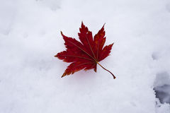 Leaves in snow Stock Images