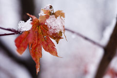Leaves in snow Royalty Free Stock Photos