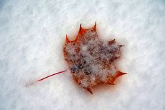 Leaves in the snow Royalty Free Stock Image