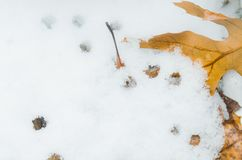 Leaves in the snow. Some yellow leaves cover with snow royalty free stock images