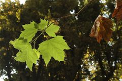 Leaves Soaking up Sun in Park. While hanging from a tree in Italy Stock Photo