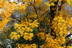 Yellow soapberry in fall stock images