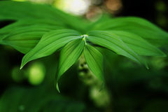 The leaves of Solomon`s seal in a shady garden. Her flowers in the blur selective focus Royalty Free Stock Images