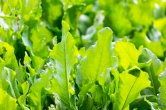 Leaves sorrel in the garden in the open air.  stock images