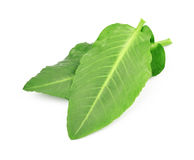 Leaves sorrel Royalty Free Stock Images