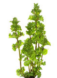 Leaves of Spearmint. Stock Images