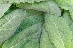 Leaves of spicy sage. Plant medicinal green background close-up macro photography stock photo