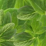 Leaves of spicy sage. Plant medicinal green background close-up macro photography stock photography