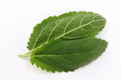 Leaves of spicy sage. Plant medicinal on a white background close-up macro photography royalty free stock photos