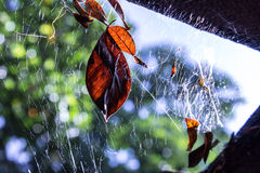 Leaves on spiderweb Royalty Free Stock Photo