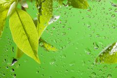 Leaves after spring rain Royalty Free Stock Photo