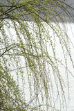 Leaves of spring willow near water Royalty Free Stock Photography