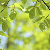 Leaves in springtime Royalty Free Stock Photography