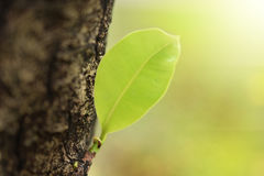 Leaves sprouting from the big trees. In a morning time Stock Photography