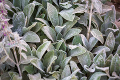 Leaves of Stachys byzantina, Lamiaceae (woolly hedgenettle) botanical garden Royalty Free Stock Images