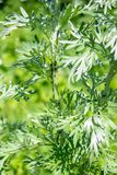 Leaves and stalks of wormwood. Insects pests of aphids on wormwood.  royalty free stock image