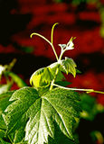 Leaves and stem of the grapevine. 1 Stock Image