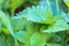 Leaves and stems of stinging nettle in the middle of grass royalty free stock image