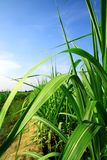 Leaves and stems sugarcane. On blue sky Royalty Free Stock Photo