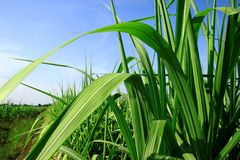 Leaves and stems sugarcane. On blue sky Royalty Free Stock Photos