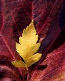 Leaves Still Of Autumn Leaves, Fall Classic Images Royalty Free Stock Photography