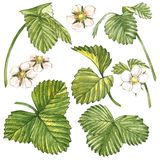 Leaves of Strawberries with flowers. Isolated on a white background. Hand drawn watercolor painting illustration. Leaves of Strawberries with flowers. Isolated Stock Photo