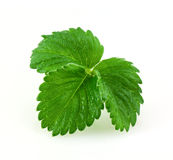 Leaves of strawberry Stock Image
