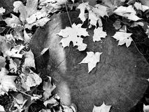 Leaves on the stump. Maple autumn leaves on the ground in black and white Stock Photo