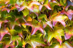 Leaves of a sucker. Autumn leaves of a sucker, woodbine - five finger Royalty Free Stock Images