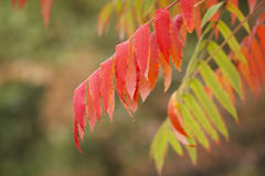 Leaves of Sumac Stock Photos