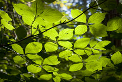 Leaves in the sun. Leaves on a tree branch illuminated by the sun in a forest Royalty Free Stock Image
