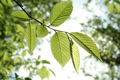Leaves in the sun. Carpinus betulus leaves in the sun of spring Stock Image
