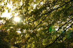 Leaves and sun. Look through leaves towards the sun Stock Image