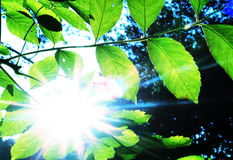 Leaves and sun. Green leaves for sun in garden Royalty Free Stock Photos